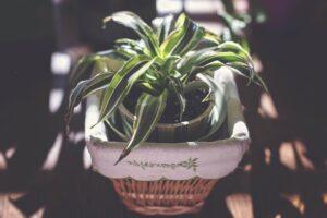 DES plant