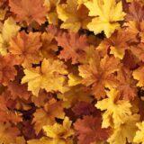 landscaping ideas Heuchera caramel coral bells