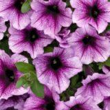 GAR gardening trends petunia